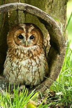 Tawny Owl relies on asymmetrically placed ears which allow it to pinpoint prey in the dark. Beautiful Owl, Animals Beautiful, Cute Animals, Animals Amazing, Pretty Animals, Owl Photos, Owl Pictures, Tawny Owl, Owl Bird
