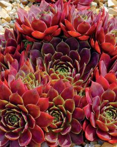 Sempervivum 'Commander Hay' bold red and green foliage with pointed leaf tips. pink and yellow flowers in the summer
