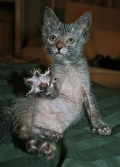 "New weird breed of ""werewolf"" kitty- the Lykoi- a Sphinx mutation."