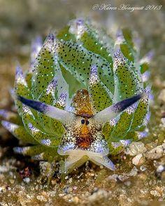 Costasiella kuroshimae
