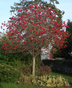 Rowan Tree - 9L Pot (Sorbus aucuparia) The traditional rowan, also known as 'Mountain Ash', is a fast growing and incredibly popular tree native to the UK. It's popularity is well merited as it produces an unrivalled autumn display of brilliant red berries w