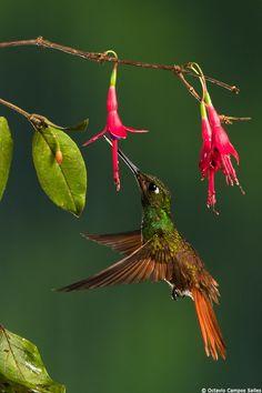 Brazilian Ruby (Clytolaema rubricauda) by Octavio Campos Salles on 500px