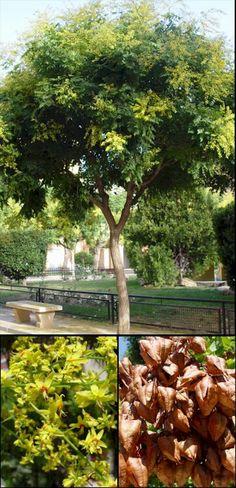Koelreuteria paniculata Panicled Goldraintree zone 5