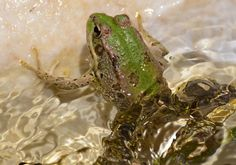 Frog Reptiles And Amphibians, Nature, Animals, Animales, Animaux, Naturaleza, Animal, The Great Outdoors, Animais