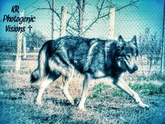 Tala Gray Wolf is mom to our coy wolf, Flower. Tala is a timberwolf.