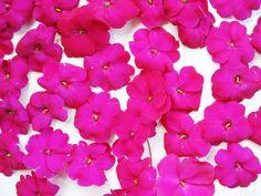 Intense Fuschia Ester Williams, Spring 2014, Exotic, Rose, Flowers, Plants, Pink, Roses, Florals