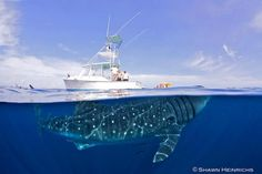 Photographer Shawn Heinrichs captured this amazing photograph of a giant whale shark lurking beneath a small yacht.