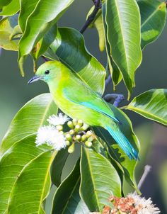 Blue-winged Leafbird Female   Flickr - © Chong Lip Mun