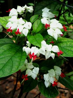 This is a Clerodendrum....I used to have a big potted plant of this. I now have a VERY RARE artificial hanging plant of this kind. I bought it for my Mom and now it's mine.