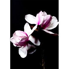 Just South West is an art print range by Christchurch based photographer, Stacey Weaver. Focused on still life floral photography with a moody backdrop. Floral Photography, Still Life, Magnolia, Backdrops, Art Prints, Pink, Painting, Painting Art, Paintings