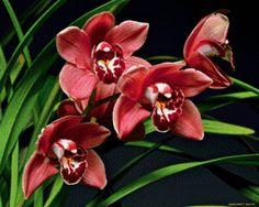 Орхидея, предпросмотр