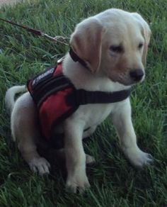 Rylee is an Autism Service Dog in Training with Pawsitive Service Dog Solutions.