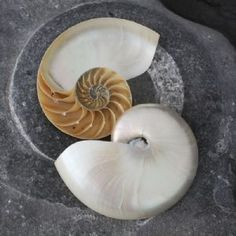 Nautilus Shell from Buy The Sea