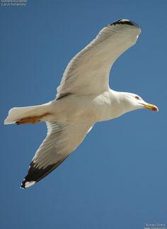 Résultats Google Recherche d'images correspondant à http://www.oiseaux.net/photos/alain.girard/images/goeland.leucophee.algi.3g.jpg