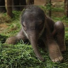 A two day old Asian Elephant tries his wobbly legs.