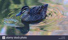 Close-Up Of Mallard Duck Swimming On Lake Stock Photo