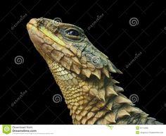 Sungazer Lizard - Google Search