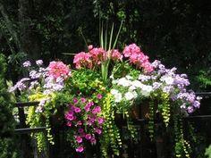 dracena, petunias, calibrachoa, verbena, creeping jenny. can enlarge picture on website