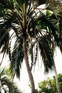 Belmore Sentry Palm (Curly Palm) | Scientific Names: Howea belmoreana | Family: Palmae