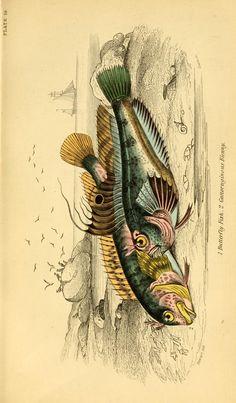v. 36: Ichthyology v. 2 (British Fishes, Part 1) - Ichthyology / - Biodiversity Heritage Library