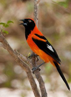 Orange Backed Troupial, found in Guyana, Brazil, Paraguay & eastern Ecuador, Bolivia, & Peru.Aqui no Brasil, Paraíba é chamado de Concris.