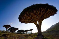 Dragon's blood tree (The Dragon's Blood Tree)