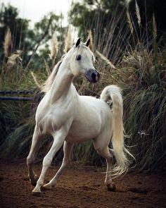 Om El Al Azeem (Al Lahab × Om El Beneera) 2006 grey stallion bred by Om El Arab International