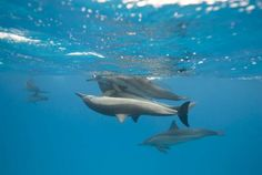 Spinner dolphins loooove playing games and showing off with big acrobatic stunts!