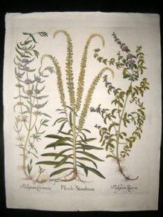 Besler 1613 LG Folio Hand Colored Botanical Print. Pulegium, Pennyroyal