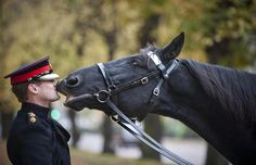 ONE LAST KISS GOODBYE: Meet Thomas, the horse who was the British Royal Cavalry's most famous smoocher. He retired after 20 years in 2012 of impeccable military service, and at his farewell ceremony, he bid his adoring men-at-arms adieu!