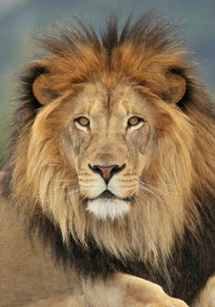 Lion Fact: Did you know that lions can go several days without water? Find out more about this and 14 other lion facts here. Lion Pictures, Animal Pictures, Animals Beautiful, Cute Animals, Wild Animals, Baby Animals, Lion Facts, Lions Live, Lions Photos