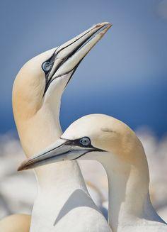 Northern Gannet bird, Gannets are are large black and white seabirds with yellow… Beautiful Birds, Animals Beautiful, Funny Animals, Cute Animals, Puffins Bird, Shorebirds, Sea Birds, Birds Of Prey, Bird Species