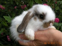 holland lop, My Bun Bun looked just like this cute little guy!