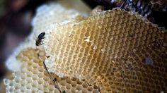 La cura más dulce: La miel fresca de abeja podría ser más efectiva que los antibióticos – Los componentes bacterìales  de la miel fresca son màs eficientes que los antibiòticos convencionales en el tratamiento de infecciones resistentes a los medicamentos,segùn cientificos.Se trata de 13 componentes que pueden combatir un gran espectro de infecciones tìpicas,como el SARM (el staphylococcus aureus resistente a la medicina).-