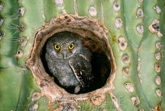 Elf owlet sitting in a Saguaro Cactus (Arizona, USA). These are the world's lightest owls...