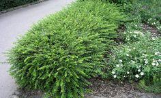 'Maigrün' ist eine Zuchtform der Immergrünen Heckenkirsche (Lonicera nitida) und wird rund einen Meter hoch. Ihre kleinen, gegenständigen Blätter sehen denen des Buchsbaum sehr ähnlich, vom Wuchs her unterscheiden sich die Pflanzen hingegen etwas – die Immergrüne Heckenkirsche wächst eher gedrungen und überhängend. Ihre Frosthärte an sonnigen Standorten ist zudem etwas geringer als beim Buchsbaum. Die Immergrüne Heckenkirsche ist ebenfalls sehr schnittverträglich, aber etwas…
