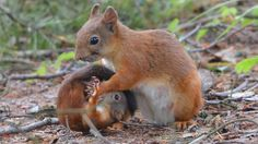 The Squirrel pups fall from the nest - Mama Squirrel whirl roll up and carried to safety Photo Pia Berghäll