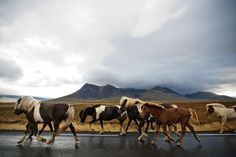 Icelandic horse walk down the highway to their farm after being sorted at the Víðidalstungurétt pen during the annual round-up on October 1st, 2011. (Photo by Paul Taggart/Herd In Iceland)