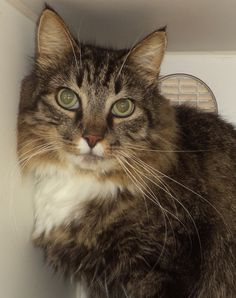 URGENT!!!! LOVABLE MAINE COON!!! Adopting a friend~ Dogs (and puppies) are $ 90.00 : $ 76.00 for the adoption / $ 14.00 for the licenses Cats (and Kittens) are $60.00 : $60.00 for the adoption All age appropriate animals are receiving a one year Rabies Vaccination. All adoptable...BEAUTIFUL MAINE COON NEEDS A LOVING HOME! SUMMIT COUNTY OHIO>>>>