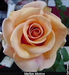 Marilyn Monroe Rose: reference picture for a tattoo Pretty Roses, Beautiful Roses, Orange Roses, Pink Roses, Rose Reference, Rosen Tattoos, Realistic Rose, Hybrid Tea Roses, Single Rose