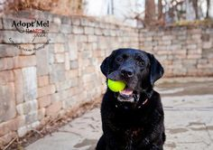 Mind Blowing Facts About Labrador Retrievers And Ideas. Amazing Facts About Labrador Retrievers And Ideas. Big Dogs, Large Dogs, I Love Dogs, Cute Dogs, Black Lab Puppies, Dogs And Puppies, Doggies, Black Labrador, Black Labs