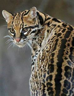 "Ocelot! Via ""Back To Nature"""