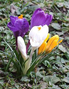 Spring arrives in our backyard.  Weilheim, Upper Bavaria. March, 2013.