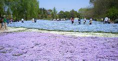 青の芝桜やネモフィラが広がる「青のじゅうたん」に圧巻!東武トレジャーガーデンの花畑に感動 - Find Travel