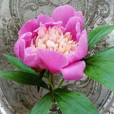 #pioni #kukka #kesäkukka #tuoksu #liisako