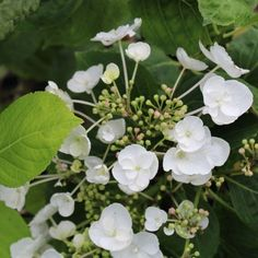 Hydrangea macrophylla Libelle (Teller white) – Hortensia à fleurs blanches Hydrangea Macrophylla, Hortensia Hydrangea, White P, Plantation, Landscaping, Hydrangeas, All Flowers, Dry Flowers, Shrub