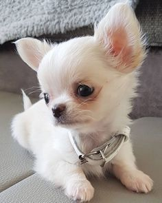 Stunning hand crafted chihuahua accessories and jewellery available at Paws Passion Shop! Cute Chihuahua, Chihuahua Puppies, Cute Dogs And Puppies, Baby Dogs, Doggies, Puppy Husky, Pug Beagle, Mastiff Puppies, Cockapoo Puppies