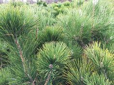 Japanese Black Pine http://www.bloomingandbeautiful.com/Japanese-Black-Pine-P11399.aspx