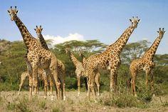 Giraffe Herd In Kenya