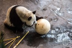 We offered to help and make some natural, durable toy balls for the pandas using local pine from Eastern Finland as the material. Panda Cakes, Tooth And Claw, Handmade Wooden Toys, Natural Toys, Cutest Thing Ever, Custom Woodworking, New Toys, Panda Bear, Pandas